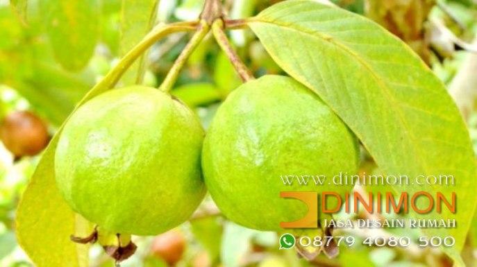 Read more about the article Daun Jambu Biji Bermanfaat Kecantikan