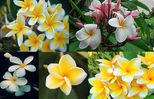 Read more about the article Bunga Kamboja Tanaman Hias Taman Rumah