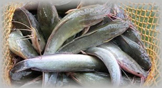 Pakan Lele Probiotik Ikan Sehat dan Menguntungkan