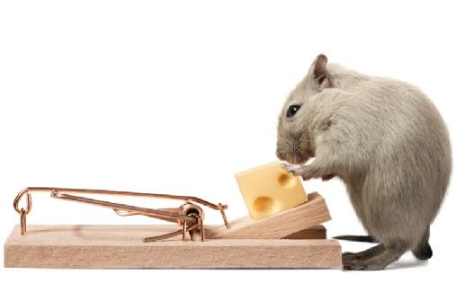 Cara Membasmi Tikus Alami Tanpa Racun Berbahaya